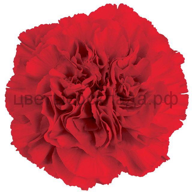 Гвоздика Экв. ОГ. КРАСНАЯ (red)