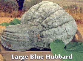 "Тыква сорт ""БОЛЬШОЙ СИНИЙ ХАББАРД"" (LARGE BLUE HUBBARD) 12 семян"