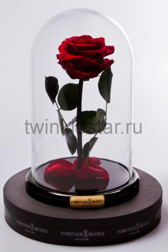 Роза в колбе (бордовая) на прямом стебле, 27 см