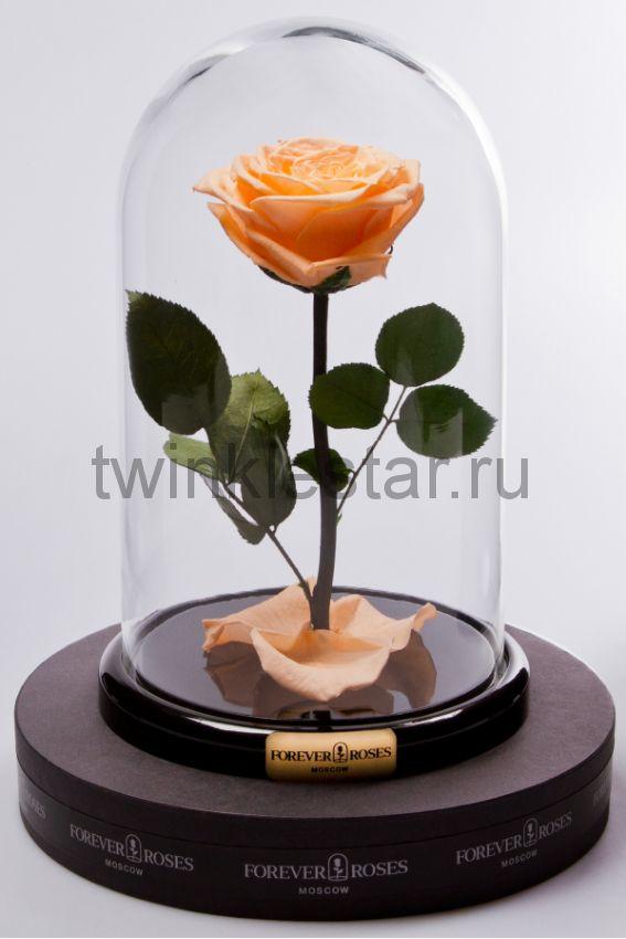 Роза в колбе (персиковый) на прямом стебле, 27 см