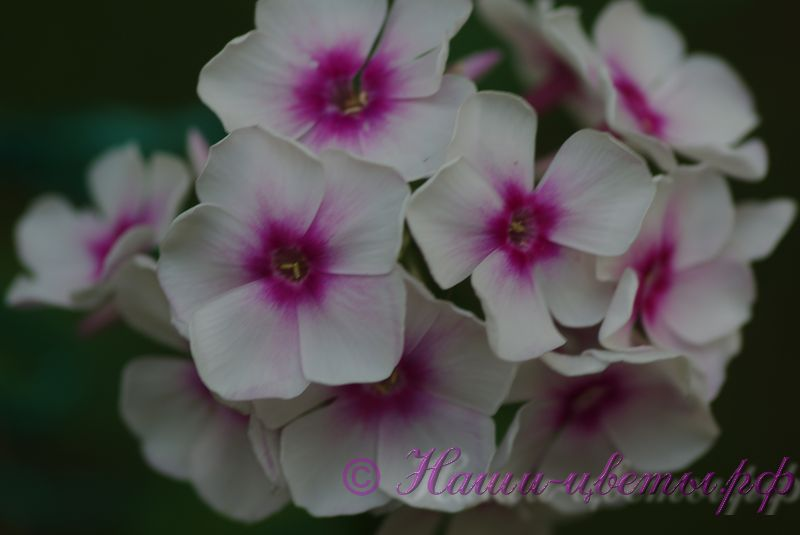 Флокс 'Мичуринец' / Phlox 'Michurinec'