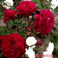 Старлет – Роз Лола (Starlet-Rose Lola)