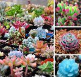 Семена суккулентов – живые камни пустыни