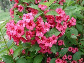 Вейгела цветущая Бристол Руби (Weigela florida Bristol Ruby)