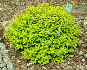 Спирея японская Голдмаунд (Spiraea japonica Goldmound)