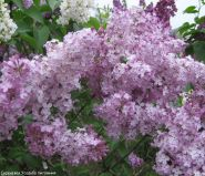Сирень обыкновенная Гортензия (Syringa vulgaris Gortensia)
