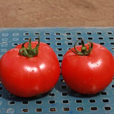 """Купить семена томатов """"Аксиома"""" F1 (10/50 семян) от Nunhems"""