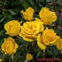 Голден Боника (Golden Bonica)