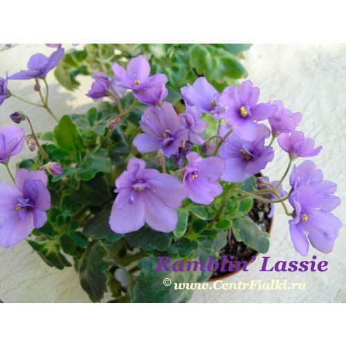 Ramblin' Lassie (S. Sanders/R. Brenton)