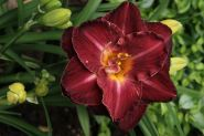 Лилейник Бургунди Лов (Hemerocallis Burgundy Love)
