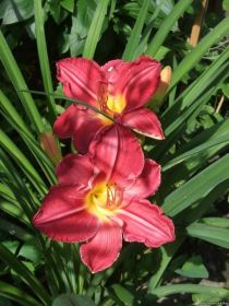 Лилейник Чарльз Джонстон (Hemerocallis Charles Johnston)