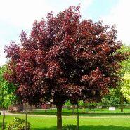 Клен остролистный Роял Ред (Acer platanoides Royal Red)