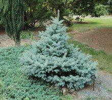 Ель колючая Блю Тринкет (Picea pungens Blue Trinket)