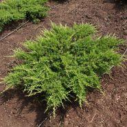 Можжевельник казацкий Рокери Джем (Juniperus sabina Rockery Gem)