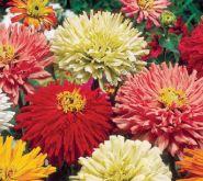 "Цинния сорт ""ХРИЗАНТЕМА МИКС"" (Chrysanthemum) 100 семян"