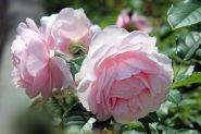 Роза флорибунда Наташа Ричардсон