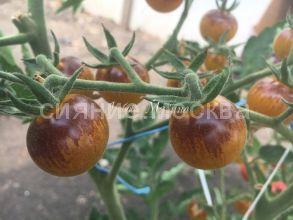 Томат Золотисто-синие ягоды