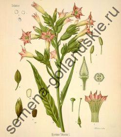 """Табак """"Кентукки Берли"""" (Kentucky Burley) 10 семян"""