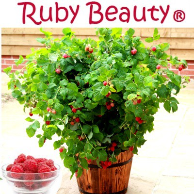 Малина карликовая Руби Бьюти  Ruby Beuty