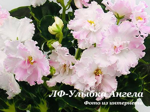 ЛФ-Улыбка Ангела (Л.Федосеева) НОВИНКА