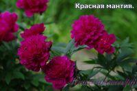Пион травянистый 'Красная мантия' / Peonia 'Krasnay Mantia'