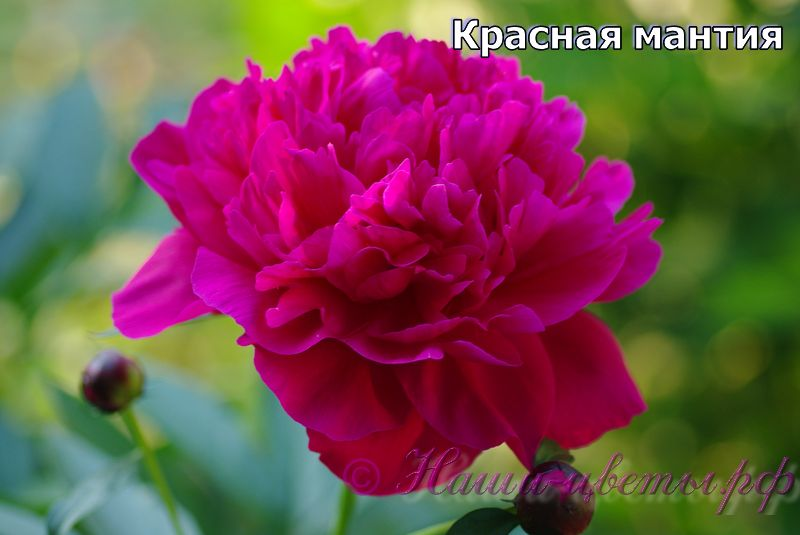 Пион травянистый 'Красная мантия' / Paeonia 'Krasnay Mantia'