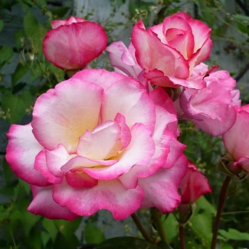 Роза Хендель. (Handel) Плетистая