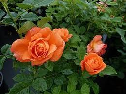 Роза Оранж Даун. (Orange Dawn) Плетистая
