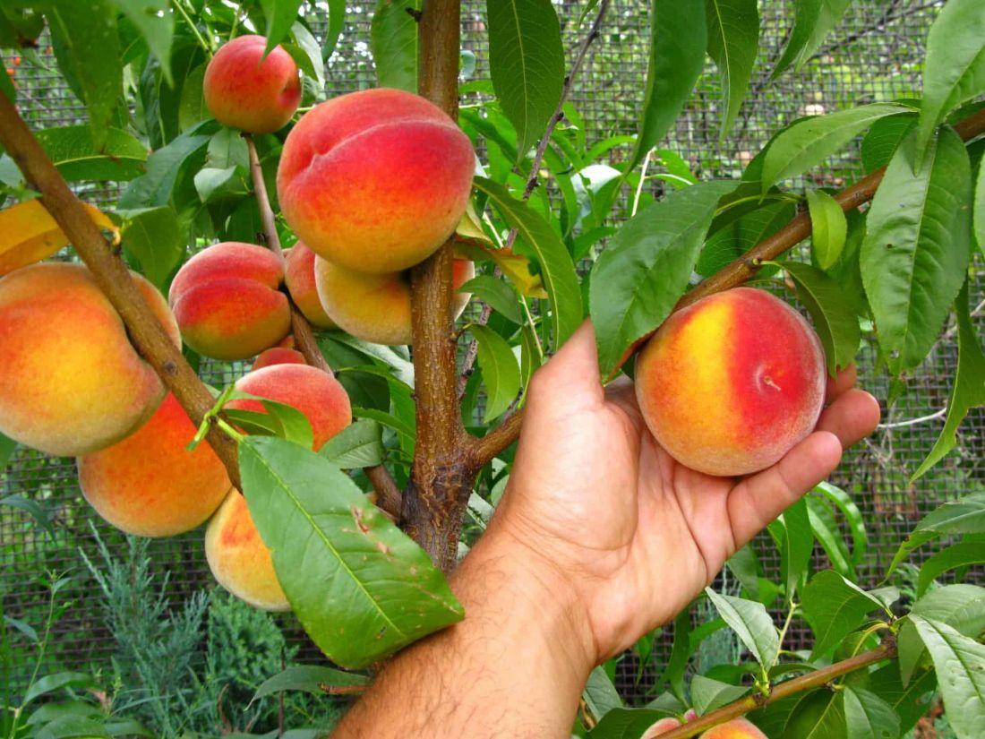 саженцы персика кардинал  отправка с 1 сентября2020г