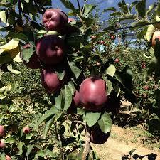 "Саженцы яблони ""Джеромини"""