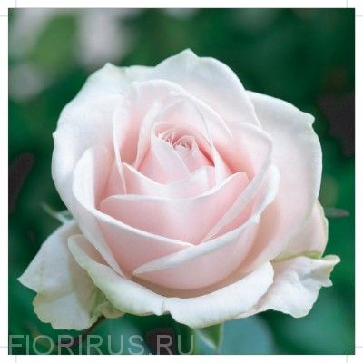 Роза Свит Ревайвл
