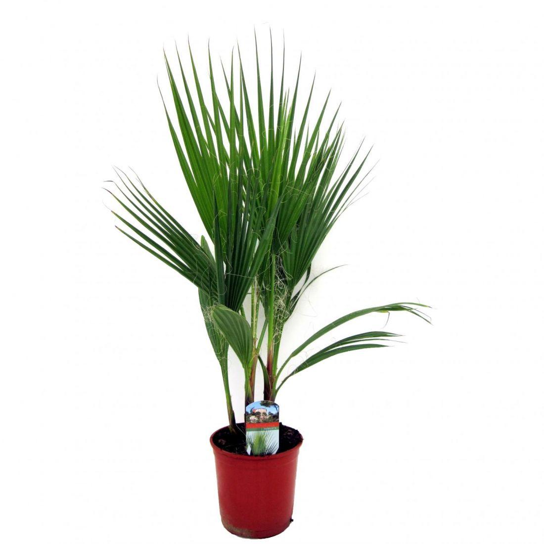 пальма вашингтония высота 40-50см