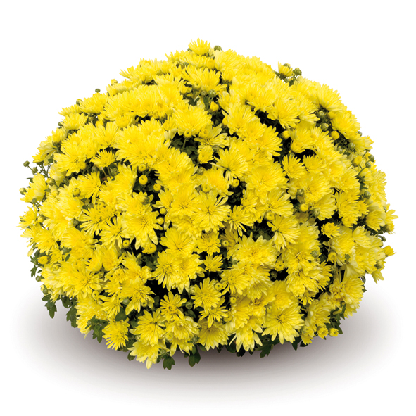 Aluga Yellow шаровидная хризантема