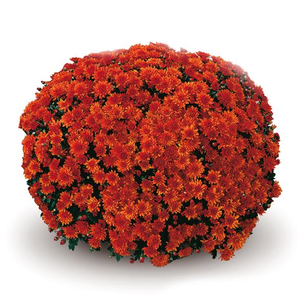 Conaco Orange шаровидная хризантема