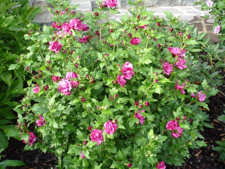 гибискус сирийский розовый(кетмия)