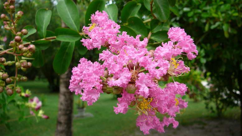 Лагерстремия 'Petit Pink' (Розовый карлик)