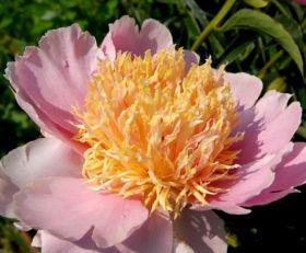 Пион Фейри (Paeonia Fairy)