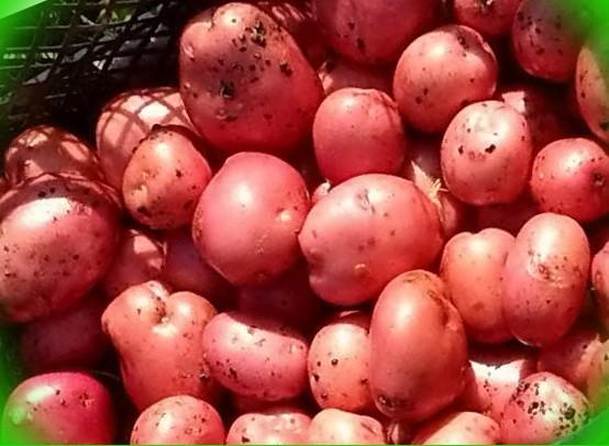 картофель сорт крымская роза 10шт