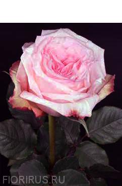Роза Эквадорская Охара (O`hara)