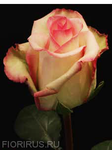 роза эквадор Сезанн (Cezanne)