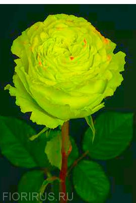 Роза Эквадор Лимонад  (Lemonade)