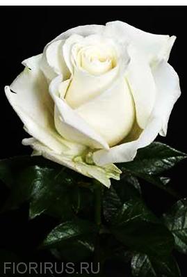 Роза Эквадор Сноу Блисс (Snowbliss)