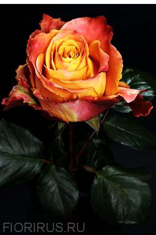 Роза Эквадор Силанта (Silantoi)