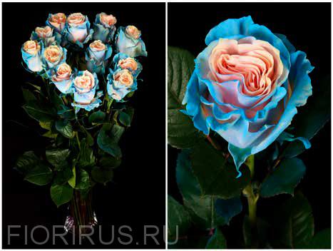 Роза Эквадор Эдж пинк бэйби блу(Edge Pink Baby Blue)
