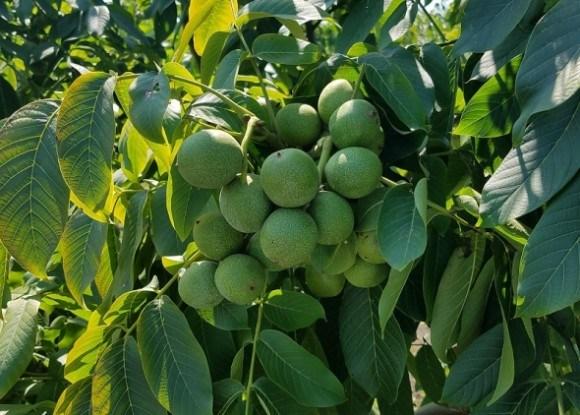 саженцы ореха кочерженко