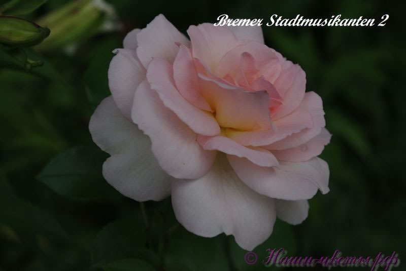 Роза 'Бременские музыканты' / Rose 'Bremen Stadmusikanten'
