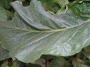 Семена табака сорта Вирджиния 312