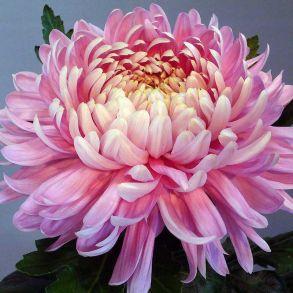 № К98 Хризантема Allouise Pink