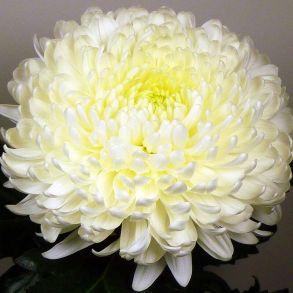 Хризантема Allouise White