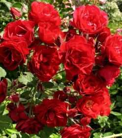 Роза шраб Хоуп фо Хьюманити
